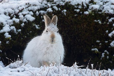 OneKind calls for urgent action in response to news of severe declines of mountain hares