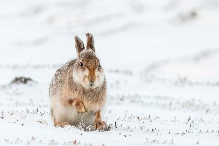 OneKind welcomes response to mountain hare killing petition