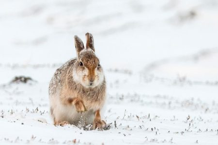 Scottish public overwhelmingly support increased protection for the iconic mountain hare, according to new figures