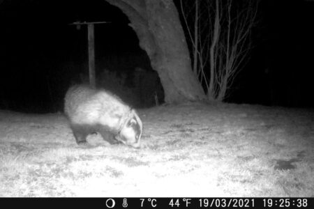 Image of snared badger caught on couple's wildlife cam