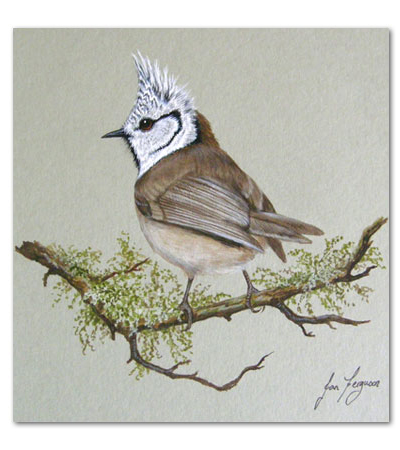 print of crested tit