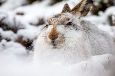 Calls for an end to mountain hare killing intensify on first day of the open season