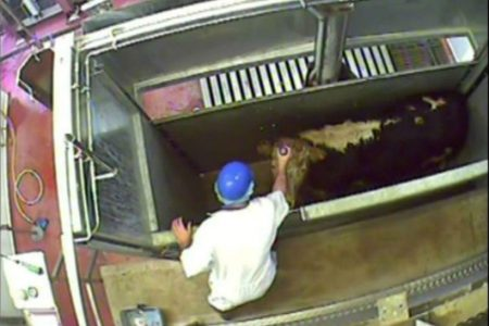 Charities and political activists call for mandatory CCTV in slaughterhouses in Scotland