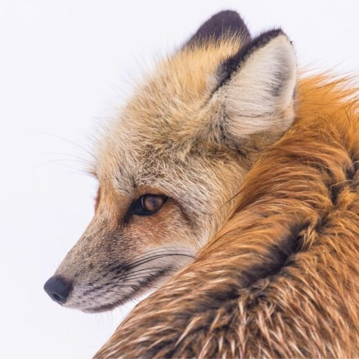 Fox - Canva