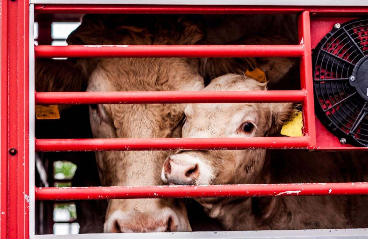 Cow and calf in a transport lorry