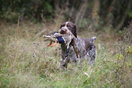 Should you be allowed to mutilate your dog for your hobby?