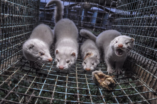 Four cannibalistic mink in a barren cage on fur farm