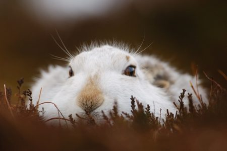 New data reveals extent of mountain hare persecution in Scotland