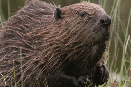 OneKind responds to Scottish Government announcement on the future of Scotland's beavers