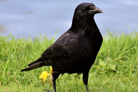 Parliamentary questions reveal ravens routinely culled across Scotland
