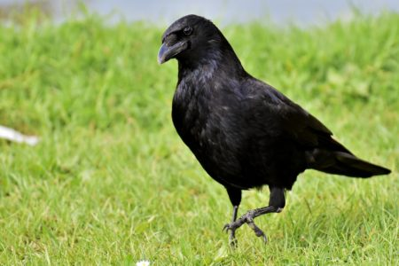 The raven cull – what we know, what we don't know, and what next