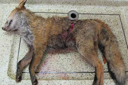 This post-mortem demonstrates why Scotland must ban fox hunting for real