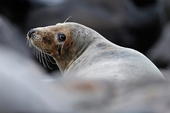 2020 – Scottish Government announce an effective ban on seal shooting