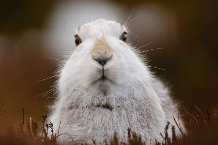 Charity welcomes an end to snaring of mountain hares in Scotland