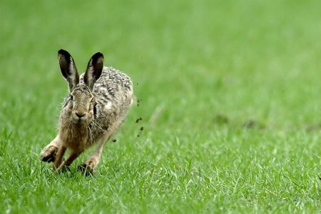 Scotland has a hare coursing problem. Here's how to stop it.