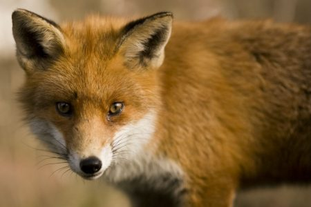 Freeing a fox suffering in a snare was compassion – not a crime