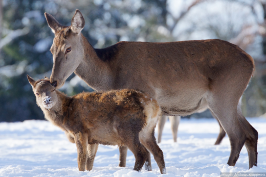 doe and fawn in snow