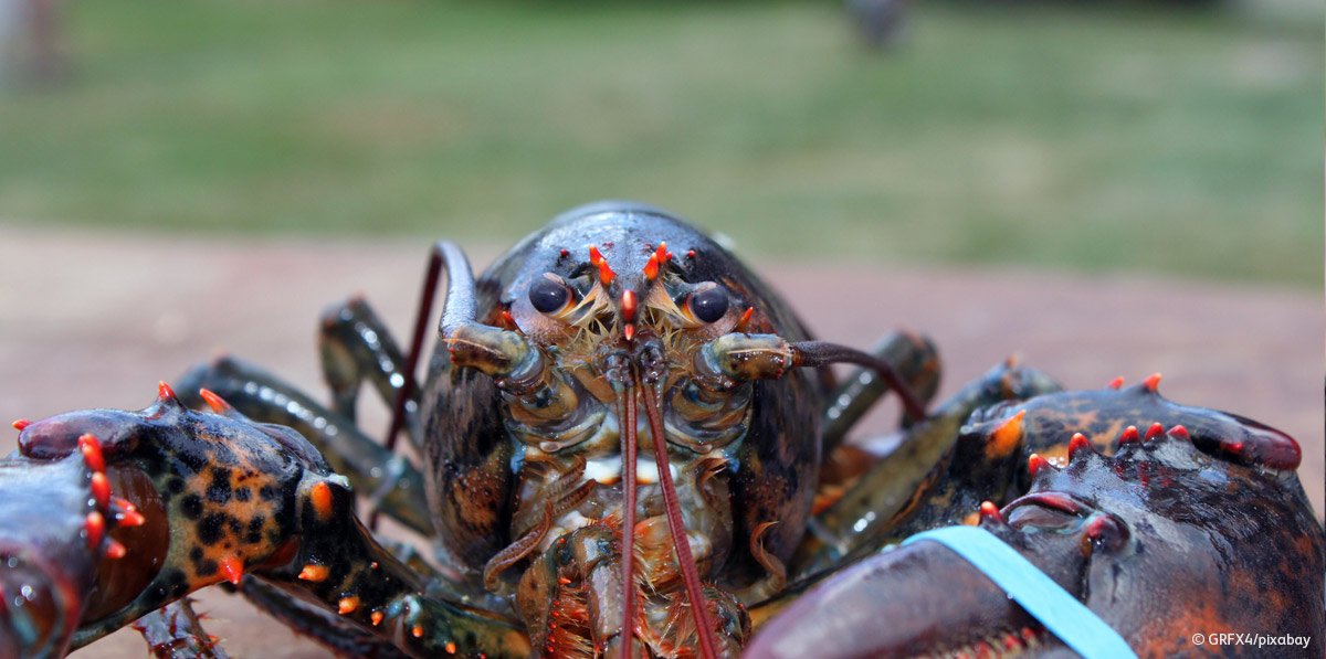 Lobster with claws tied