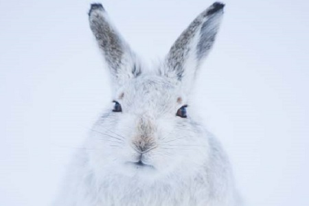 Mountain hare killing scrutinised in the Scottish Parliament