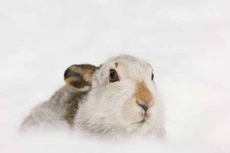 OneKind presents petition calling for greater protection of mountain hares to the Scottish Parliament