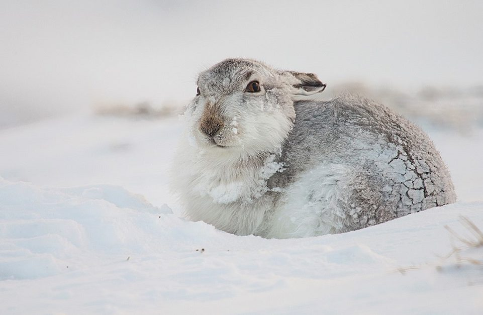 A mountain hare in the snow