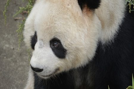 5 reasons why we shouldn't be celebrating Edinburgh Zoo's new panda.