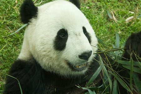 OneKind responds to news that Edinburgh Zoo's giant panda is pregnant