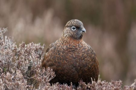OneKind calls for a ban on driven grouse shooting ahead of the Glorious Twelfth.